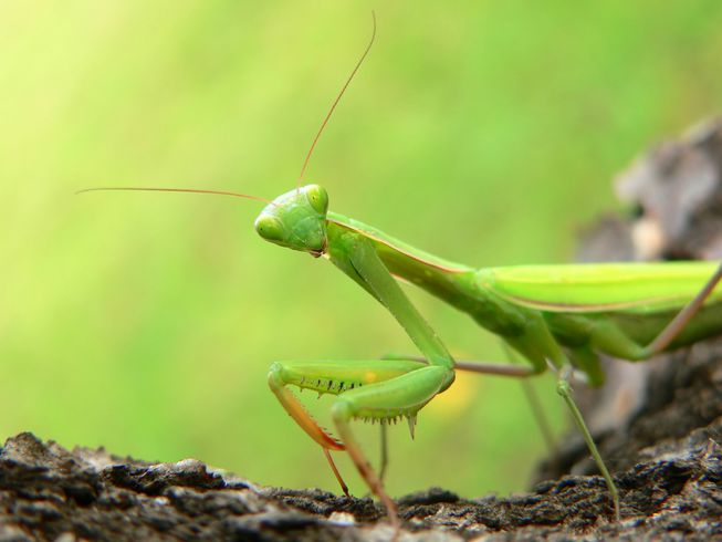 Praying Mantis Vs Ants